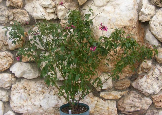 Salvia greggii alba x involucrata stock plant
