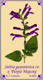 Salvia guaranitica x gesneraeflora cv. `Purple Majesty'