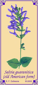 Salvia guaranitica, old American form
